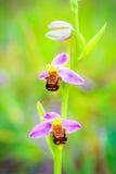 Άγρια φύση ορχιδεών μελισσών Στοκ Εικόνα