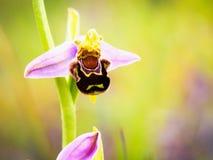 Άγρια φύση ορχιδεών μελισσών Στοκ εικόνα με δικαίωμα ελεύθερης χρήσης