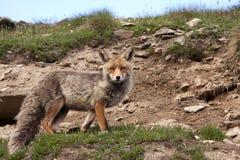 άγρια φύση πάρκων αλεπούδω&nu Στοκ Εικόνες