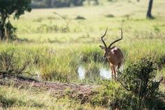 Άγρια φύση σε Maasai Mara, Κένυα Στοκ εικόνα με δικαίωμα ελεύθερης χρήσης