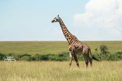 Άγρια φύση σε Maasai Mara, Κένυα Στοκ φωτογραφίες με δικαίωμα ελεύθερης χρήσης