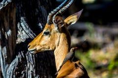 Άγρια φύση στη Μποτσουάνα Στοκ Εικόνες