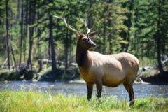 Άγρια φύση στο εθνικό πάρκο Ουαϊόμινγκ, άλκες Yellowstone Στοκ Εικόνες