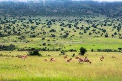 Άγρια φύση στο εθνικό πάρκο Maasai Mara, Κένυα Στοκ Εικόνες