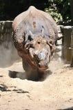 Άγρια φύση, φοβερός ρινόκερος Στοκ Εικόνες
