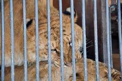 Άγρια φύση φυλακών λιονταριών τιγρών κλουβιών κυττάρων ζώων ζωολογικών κήπων Στοκ εικόνα με δικαίωμα ελεύθερης χρήσης