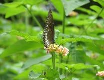 Άγρια φύση φωτογραφίας φύσης πεταλούδων buetifull Στοκ εικόνα με δικαίωμα ελεύθερης χρήσης