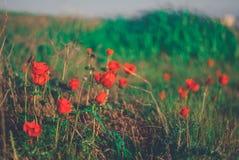 Άγρια φύση Anemones Στοκ Εικόνα