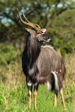 Άγρια φύση Buck Στοκ Εικόνα