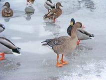 Άγρια χήνα στον πάγο στοκ εικόνα