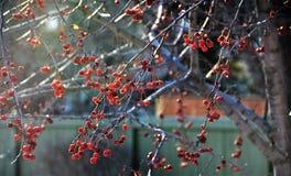 Άγρια χειμερινά μούρα Στοκ Φωτογραφίες