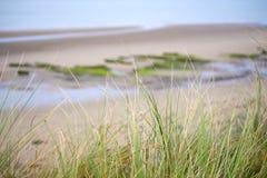 Άγρια χλόη αμμόλοφων στη beal παραλία Στοκ Εικόνα