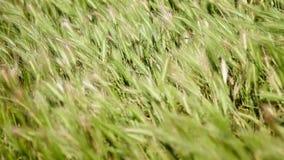Άγρια χλόη στον τομέα που κυματίζει στον αέρα - κινηματογράφηση σε πρώτο πλάνο φιλμ μικρού μήκους