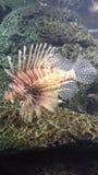 Άγρια ψάρια λιονταριών Στοκ εικόνες με δικαίωμα ελεύθερης χρήσης