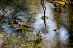 Άγρια ψάρια Mudskipper στοκ εικόνες