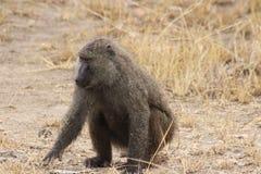 Άγρια baboons στην Αφρική Ουγκάντα στοκ εικόνες