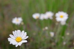 Άγρια camomile λουλούδια μαργαριτών που αυξάνονται στο πράσινο λιβάδι, Στοκ φωτογραφία με δικαίωμα ελεύθερης χρήσης