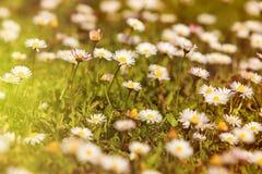 Άγρια camomile λουλούδια που αυξάνονται στο πράσινο λιβάδι με το φως του ήλιου Στοκ εικόνες με δικαίωμα ελεύθερης χρήσης
