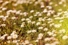 Άγρια camomile λουλούδια που αυξάνονται στο πράσινο λιβάδι με το φως του ήλιου Στοκ Φωτογραφίες