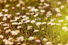 Άγρια camomile λουλούδια που αυξάνονται στο πράσινο λιβάδι με το φως του ήλιου Στοκ Φωτογραφία