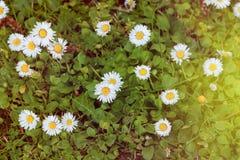 Άγρια camomile λουλούδια που αυξάνονται στο πράσινο λιβάδι με το φως του ήλιου Στοκ φωτογραφία με δικαίωμα ελεύθερης χρήσης