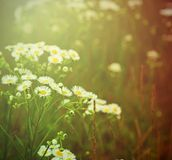 Άγρια camomile λουλούδια Στοκ Εικόνες