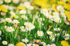 Άγρια camomile λουλούδια Στοκ Φωτογραφία