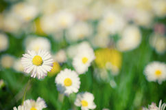 Άγρια camomile λουλούδια Στοκ φωτογραφία με δικαίωμα ελεύθερης χρήσης