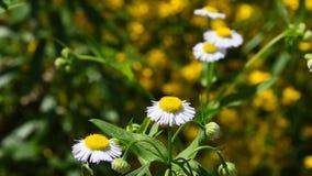 Άγρια chamomile λουλούδια λιβαδιών πέρα από πράσινο απόθεμα βίντεο