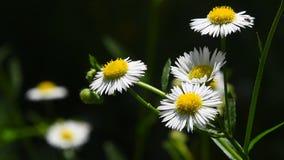 Άγρια chamomile λουλούδια λιβαδιών στον αέρα πέρα από πράσινο απόθεμα βίντεο