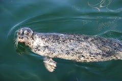 Άγρια chubby ειρηνική κολύμβηση σφραγίδων Στοκ Φωτογραφία