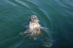 Άγρια chubby ειρηνική σφραγίδα που κολυμπά επάνω δεξιά Στοκ Φωτογραφίες
