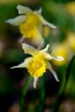 Άγρια daffodils Στοκ φωτογραφία με δικαίωμα ελεύθερης χρήσης