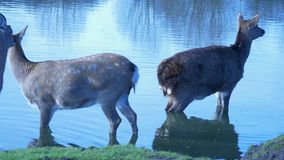 Άγρια deers που απεικονίζουν στο νερό λιμνών απόθεμα βίντεο