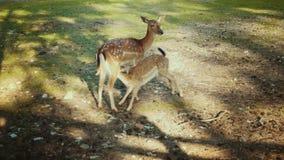 Άγρια deers στο δάσος στον τομέα Ενήλικα ελάφια που ταΐζουν λίγο fawn Ελάφια sika μητέρων φιλμ μικρού μήκους