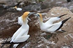 Άγρια gannets στην ερωτοτροπία σε Muriwai, Νέα Ζηλανδία στοκ φωτογραφία