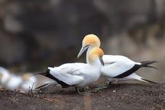 Άγρια gannets στην ερωτοτροπία σε Muriwai, Νέα Ζηλανδία στοκ εικόνα με δικαίωμα ελεύθερης χρήσης