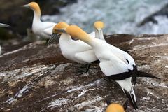 Άγρια gannets στην ερωτοτροπία σε Muriwai, Νέα Ζηλανδία στοκ εικόνα