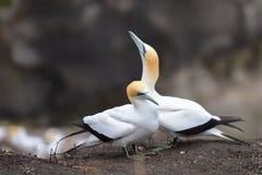 Άγρια gannets στην ερωτοτροπία σε Muriwai, Νέα Ζηλανδία στοκ φωτογραφίες με δικαίωμα ελεύθερης χρήσης