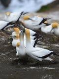 Άγρια gannets στην ερωτοτροπία σε Muriwai στη Νέα Ζηλανδία στοκ εικόνες