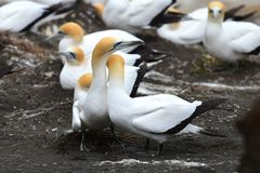 Άγρια gannets στην ερωτοτροπία σε Muriwai στη Νέα Ζηλανδία στοκ εικόνες με δικαίωμα ελεύθερης χρήσης