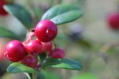 Άγρια lingonberries σε μια δασική κινηματογράφηση σε πρώτο πλάνο Στοκ εικόνες με δικαίωμα ελεύθερης χρήσης