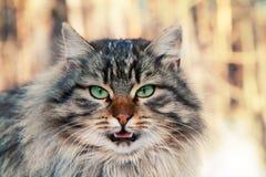 Άγρια meowing γάτα Στοκ εικόνες με δικαίωμα ελεύθερης χρήσης