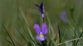 Άγρια pansies - tricolor Viola - μακρο πυροβολισμός απόθεμα βίντεο