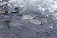 Άγρια salmons Στοκ φωτογραφία με δικαίωμα ελεύθερης χρήσης