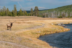 Άγριες άλκες σε Yellowstone NP Στοκ Εικόνες