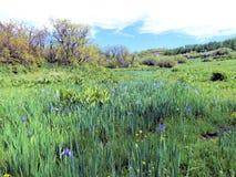 Άγριες ίριδες των βουνών του San Juan Στοκ φωτογραφία με δικαίωμα ελεύθερης χρήσης