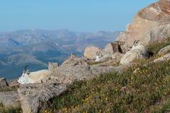 Άγριες αίγες βουνών των δύσκολων βουνών του Κολοράντο Στοκ φωτογραφία με δικαίωμα ελεύθερης χρήσης