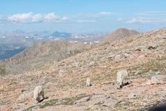 Άγριες αίγες βουνών των δύσκολων βουνών του Κολοράντο Στοκ Εικόνες