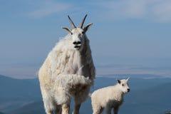 Άγριες αίγες βουνών των δύσκολων βουνών του Κολοράντο Στοκ εικόνες με δικαίωμα ελεύθερης χρήσης